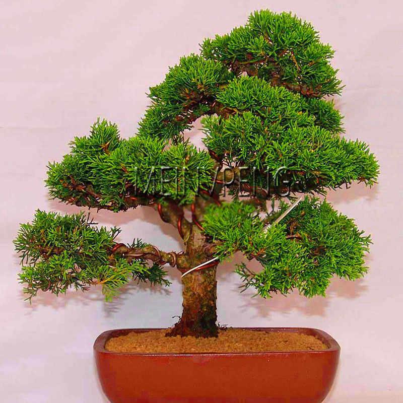 時間制限!! 50 個盆栽ジュニパー木盆栽、中国レア木植物スーツ盆栽成長簡単空気を浄化観賞プラント