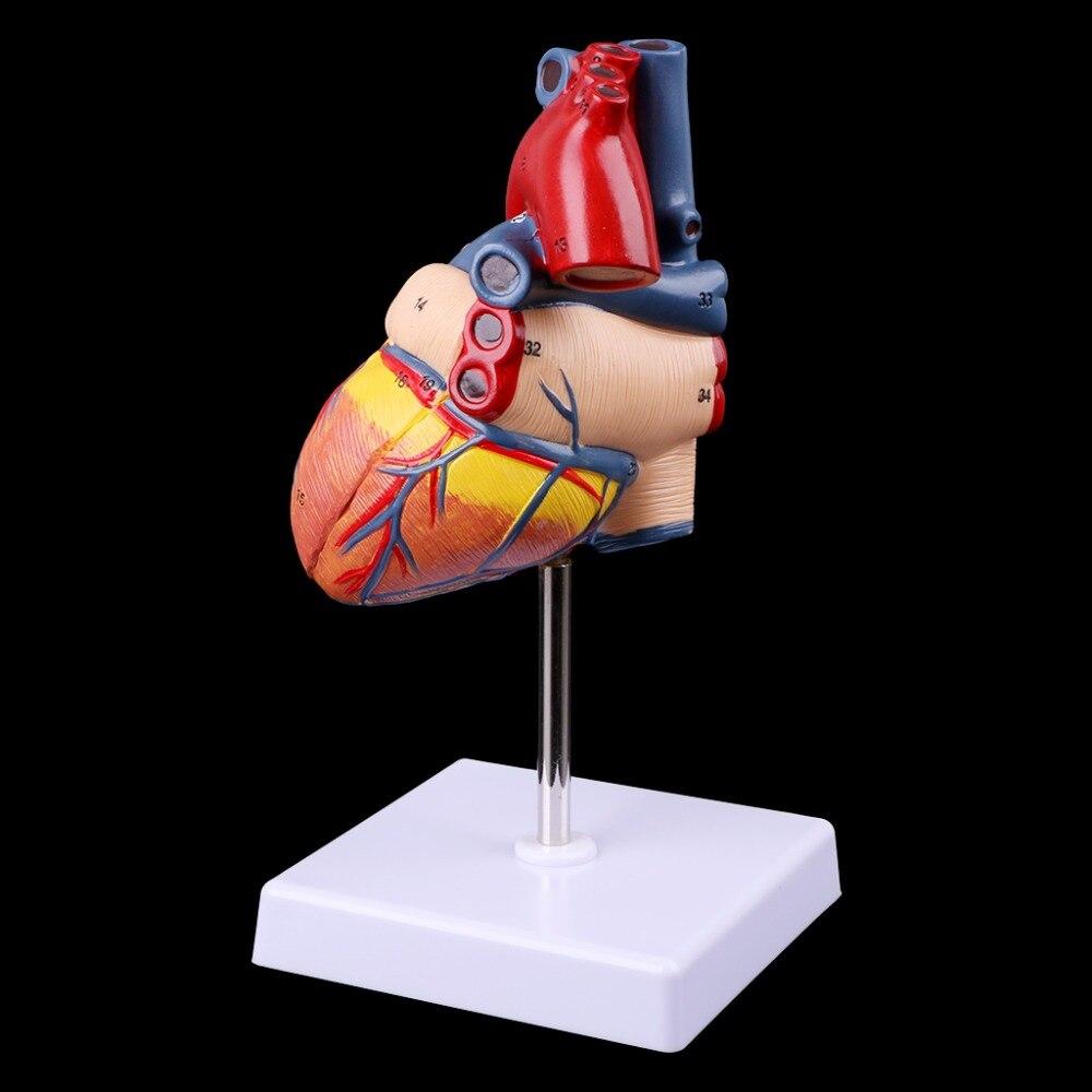 Разобранная анатомическая модель сердца человека анатомия медицинский обучающий инструмент