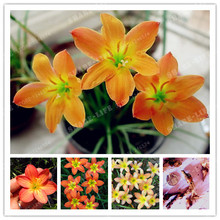 2 Bulbs Orange Zephyranthes Candida Bulbs,,(Not Zephyranthes Candida Seeds),Flower Bulbs,Outdoor Plant,Natural Growth,Bonsai