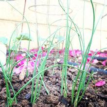 400 seeds Tokyo Long White Bunching Onion Seeds~organic