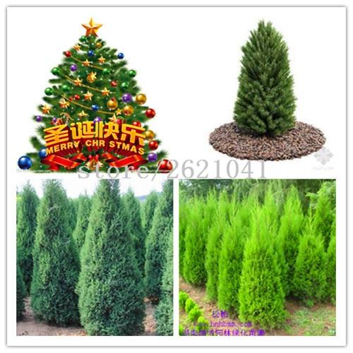 100PCS Hot Sale christmas Unique Blue Spruce Seeds Picea Tree Potted Bonsai Courtyard Garden ...