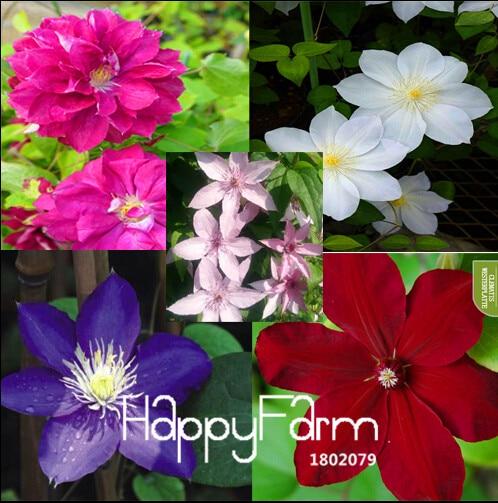 vine clematis clematis maceta jardn de flores clematis semillas 100 semillas