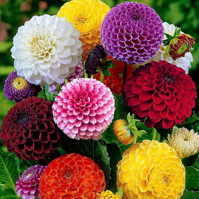 200 Mixed Zinnia Seeds Of Perennial Flower Garden Almost Nothing Care  Bonsai Sementes