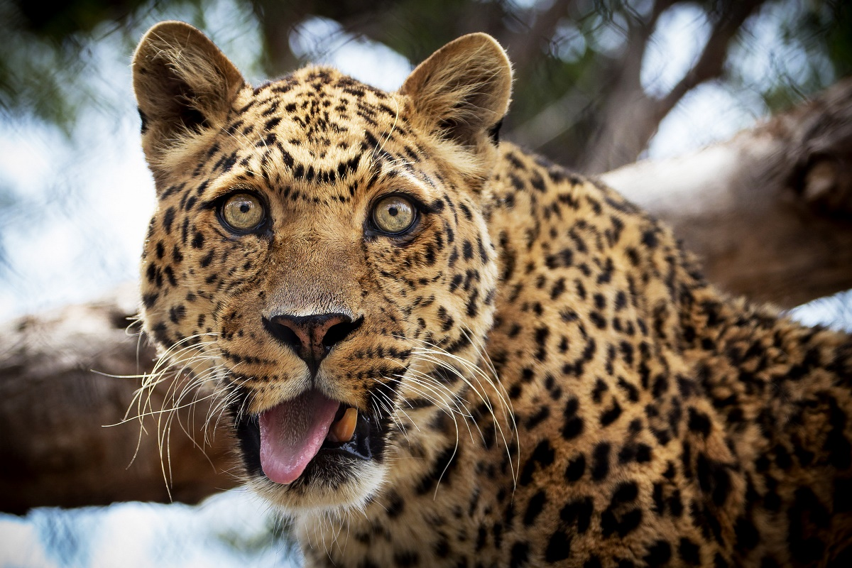 leopard predator animals eyes tongue funny surprised face ...