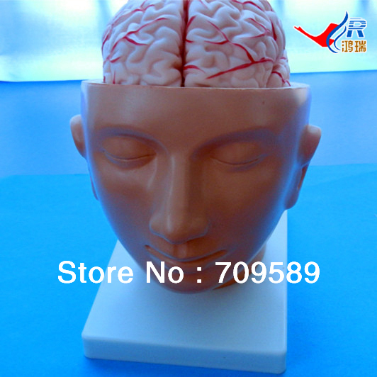ISO Human Head with Brain And Brain Artery Model, Head ModelISO Human Head with Brain And Brain Artery Model, Head Model