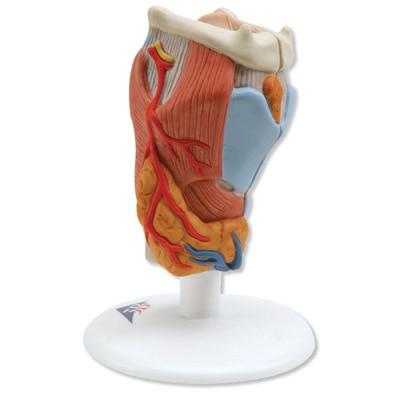 9*9*14 cm Hals modell, 2 teil rachen bänder Muskel blutgefäß Nerven ...