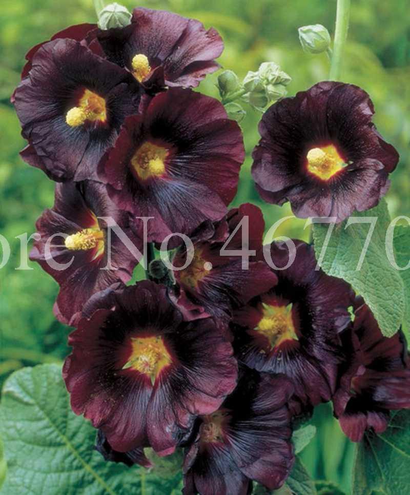 200 ชิ้น/ถุงหายากดอกไม้ Hollyhock Bonsai Alcea Rosea Flore พืชบ้านสวนกลางแจ้งสีผสมในร่ม Blooming พืช