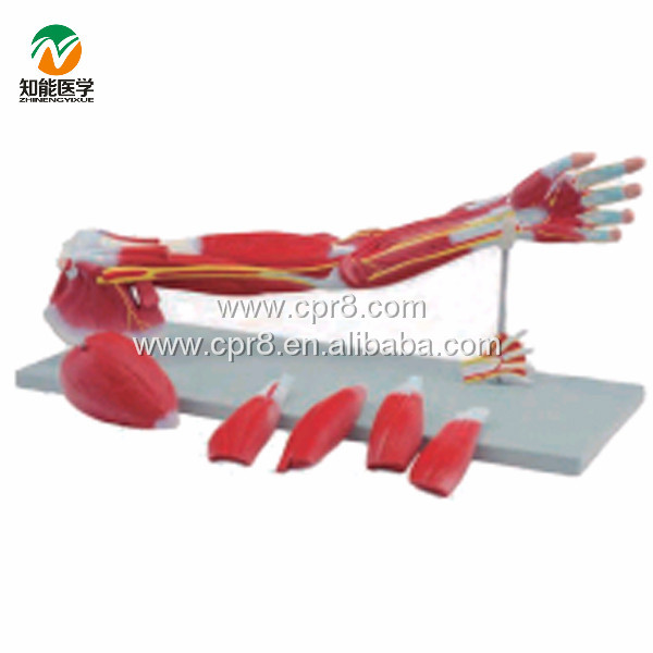 BIX-A1033 Upper Limbs Anatomical Model,Muscle Anatomy Model WBW411 gastric anatomy model bix a1045 g149