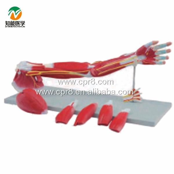 ᐃBIX-A1033 extremidades superiores, modelo anatómico anatomía ...