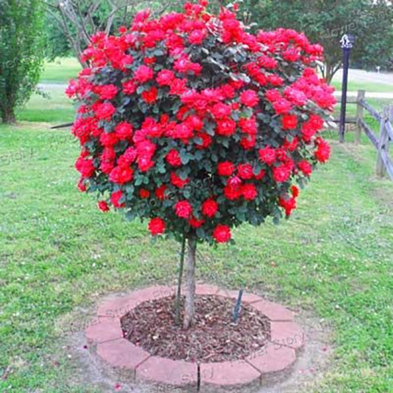 100 Red Rose tree Seeds DIY Home Garden Potted Balcony Yard Flower Plant Free Shipping New 2017