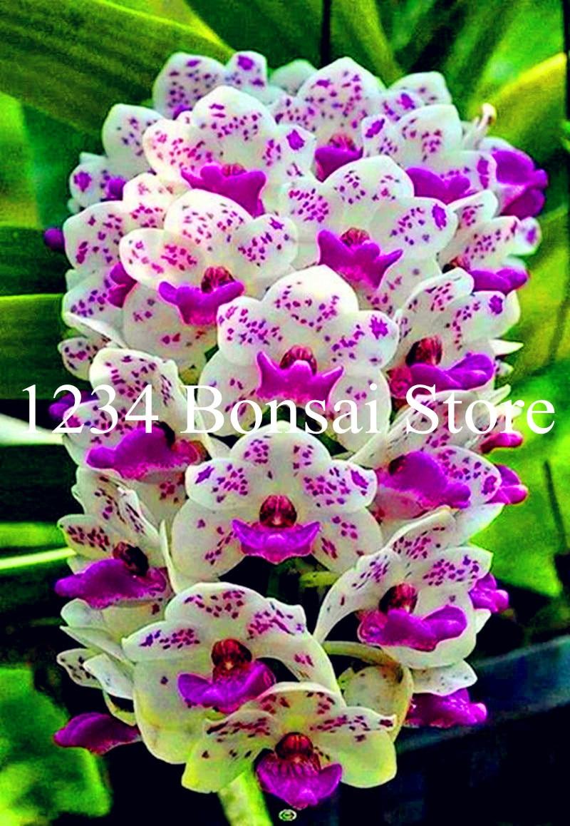 Шт. Большая распродажа! 100 шт. Редкие Cymbidium орхидеи Африканский Cymbidiums Plantas, Phalaenopsis карликовые деревья цветок рассады для дома сад горшок