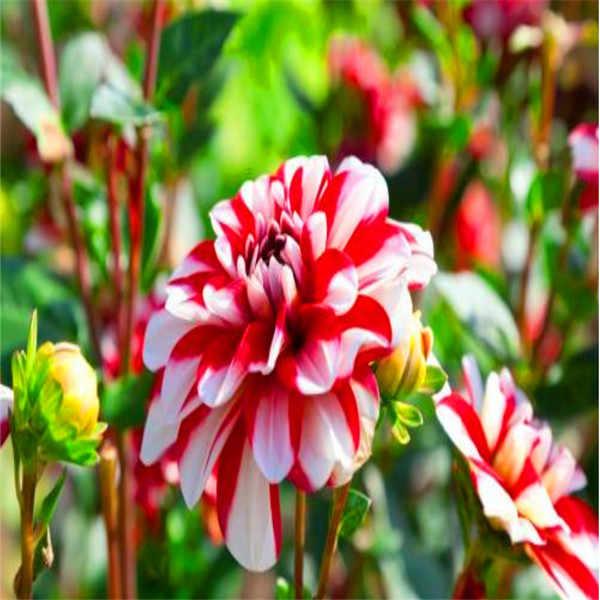 300 pz/borsa Esotico Dahlia Dahlia Bonsai Ibrido Cinese Vaso di Fiori Vaso di Alta Germinazione Impianto Per La Casa e Giardino Vasi di Fiori Fiore di Strada