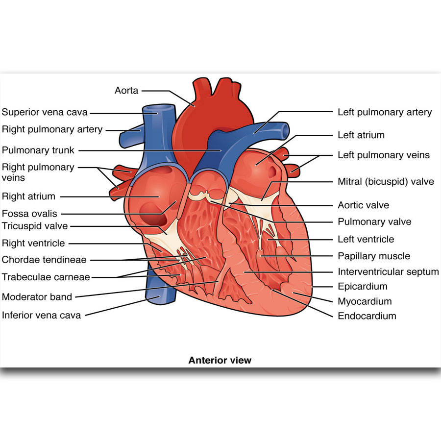 S2359 Structures Of The Heart Diagram Education Human Body