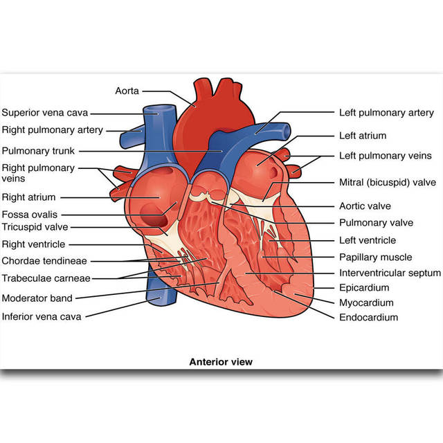 S2359 Structures Of The Heart Diagram Education Human Body Wall Art