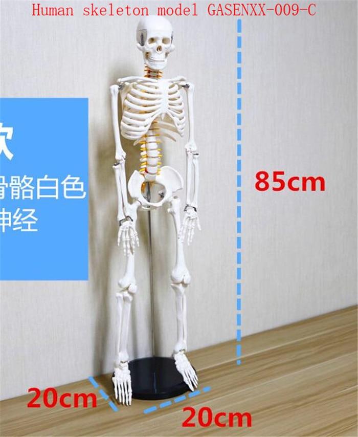 Human skeleton active Human Anatomy Medicine specimens Human skeleton model GASENXX-009-C