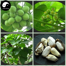 Buy Real Jatropha Carcas Barbados Nut Tree Seeds 60pcs Oil Plant Physic Nut Grow Chinese Purging Nut Ma Feng Shu