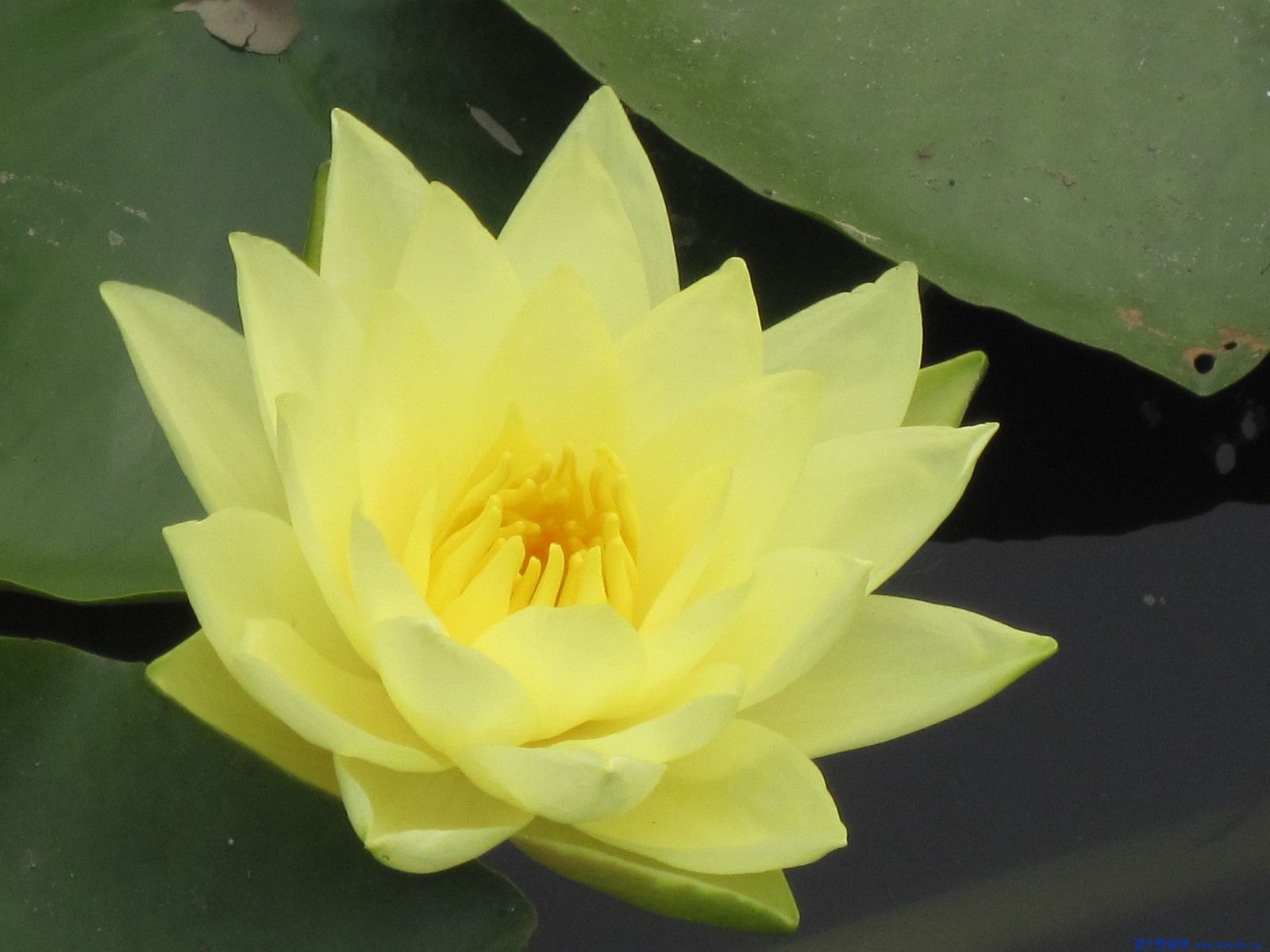 10 yellow lotus sacred water lily lily pad asian water lotus 10 yellow lotus sacred water lily lily pad asian water lotus nymphaea ampla flower seeds in bonsai from home garden on aliexpress alibaba izmirmasajfo