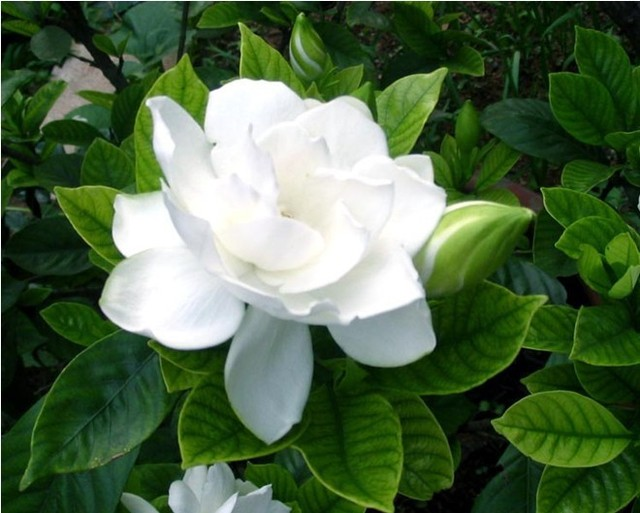 50pcsbag arabian jasmine gardenia flower seeds rare white and 50pcsbag arabian jasmine gardenia flower seeds rare white and fragrance cape jasmine mightylinksfo