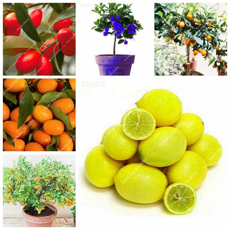 30 Pcs Bonsai Orange Mini Balkon Teras Pot China Memanjat Tanaman Abadi Pohon Segar Lezat Juicy Buah Kumquat Mudah Tumbuh