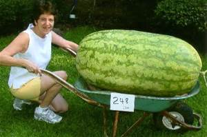 30/bag giant Watermelon Seeds ,Sweet Taste fruit and Vegetables seeds very giant delicious free shipping