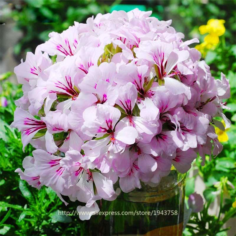 ахименесы ризомы комнатные цветы доставка из Китая