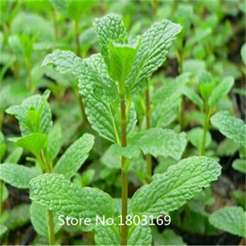 Aromatic plant seeds Mentha arvensis, perfume mint se P