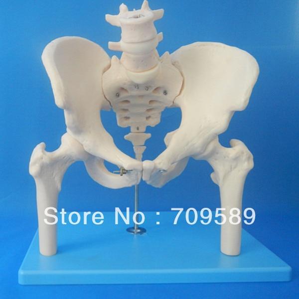 ISO Pelvis Model with lumbar vertebra and femoral head, Anatomy Pelvis Model iso anatomy pelvis model median section of female pelvis model