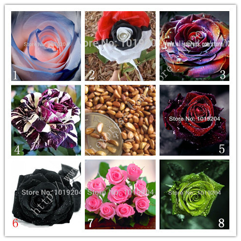 Popular Different Color Roses Buy Cheap Different Color