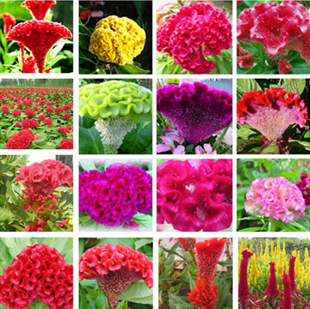 1000pcs / bag,Cockscomb seeds, potted seed, flower seed, variety complete, the budding rate 95%, (Mixed colors)