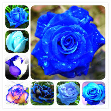 e9315f689 50 pcs Rare Blue Rose Flores Bonsai Planta Perene Flores Bela Planta Bonsai  Plantas de Flores