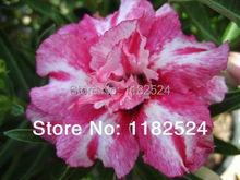 20 семена — свежий редкие » Rongarune » Adenium Obesum семена — бонсай семена