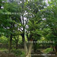 authentic coral tree bonsai collected bonsai Pak large leaf plant yellow fruit hackberry tree Pu Pu Yu Tsai real shot 200g