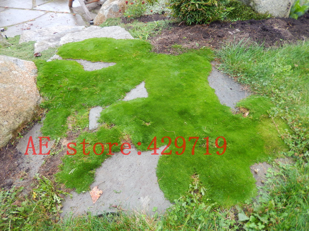 Buy 200 Pcs Imported Irish Moss Seeds Sagina Subulata Seeds Easy Grow Seeds
