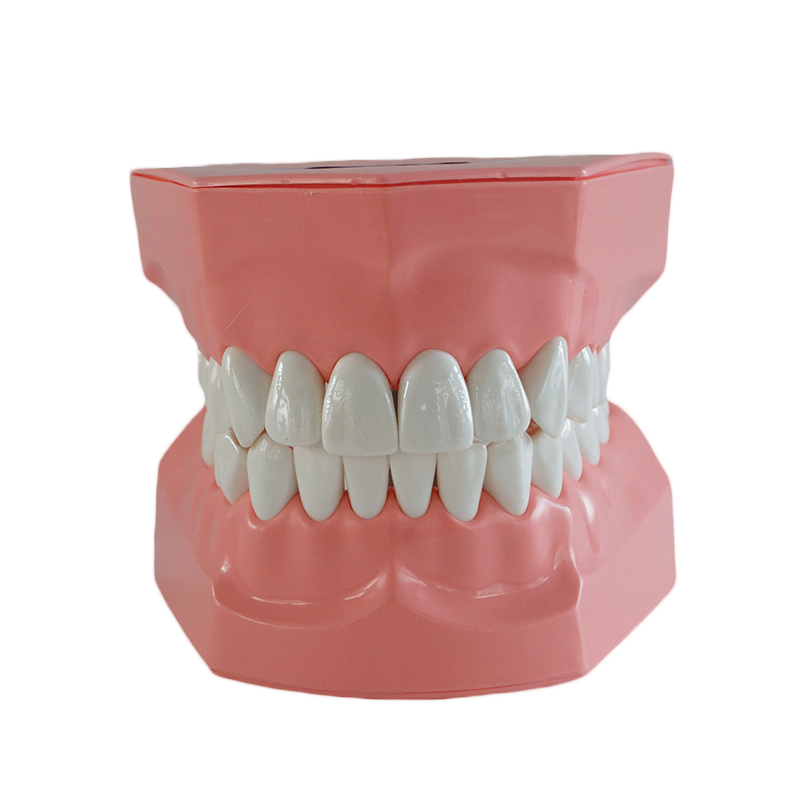 Tooth model Child Oral cavity Teaching Children brushing training model Extractions of medical education 2 Times Brushing Model