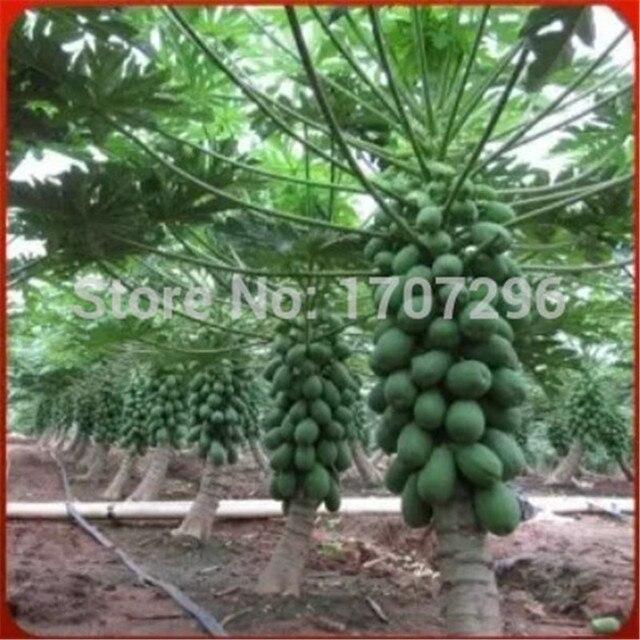 Mini fruit Papaya Semillas de rboles bonsai en maceta fruta