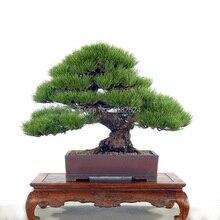 30 шт. Pine Tree Семена Сосны Thunbergii Семена Бонсай Семена Комнатные Пейзаж Главная Сад