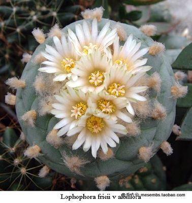 Cactus seeds 10 pieces lophophora fricii v albiflora white flower cactus seeds 10 pieces lophophora fricii v albiflora white flower seeds bonsai decoration diy home mightylinksfo