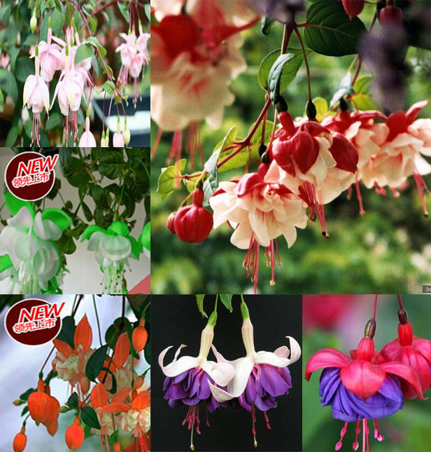 online get cheap japanese lantern flower aliexpress  alibaba, Beautiful flower