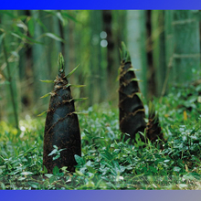 Wholesale canned bamboo shoot