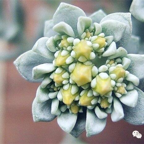 НОВЫЙ РЕДКИЙ SEDUM драконы крови очиток Sedum Spurium-100 цветочных растений бесплатная доставка 49% многолетнее растение к засухе