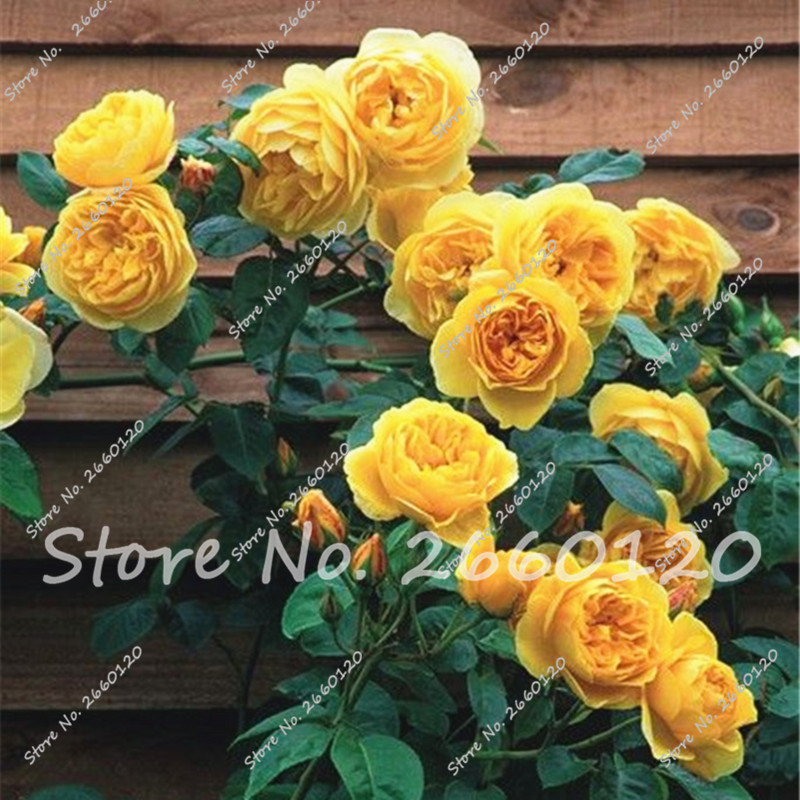 Rrare Exotic 10 Pcs Rose plants , Rainbow Roses Bonsai Flowers plants perennial garden jardim plante for Home Garden Decor  1