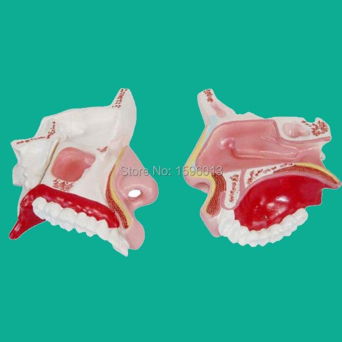 Модель носовой полости, модель анатомической носовой полости человека показывает внешние и внутренние структуры