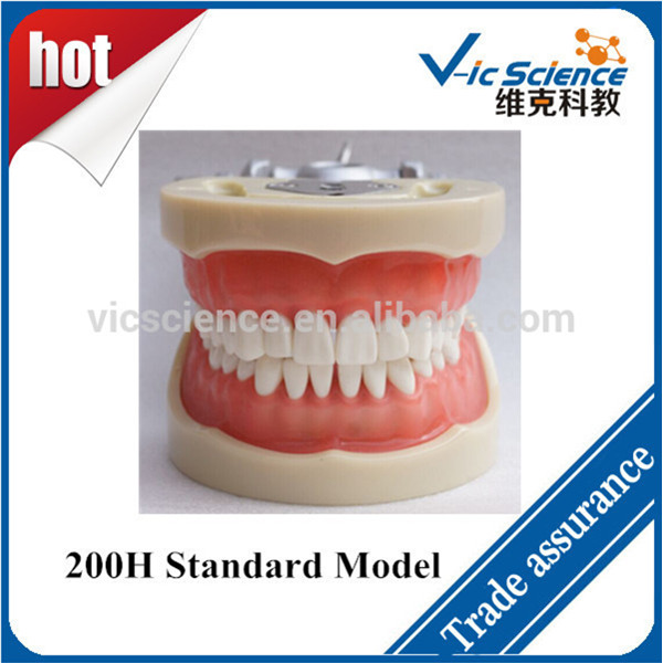 Manufacture 200H Standard Dental Cast Model