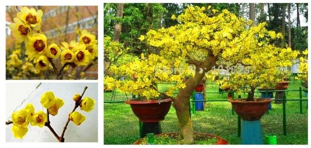 50pcsbag Seeds Wholesale Chimonanthus Praecox Fragrant Wintersweet