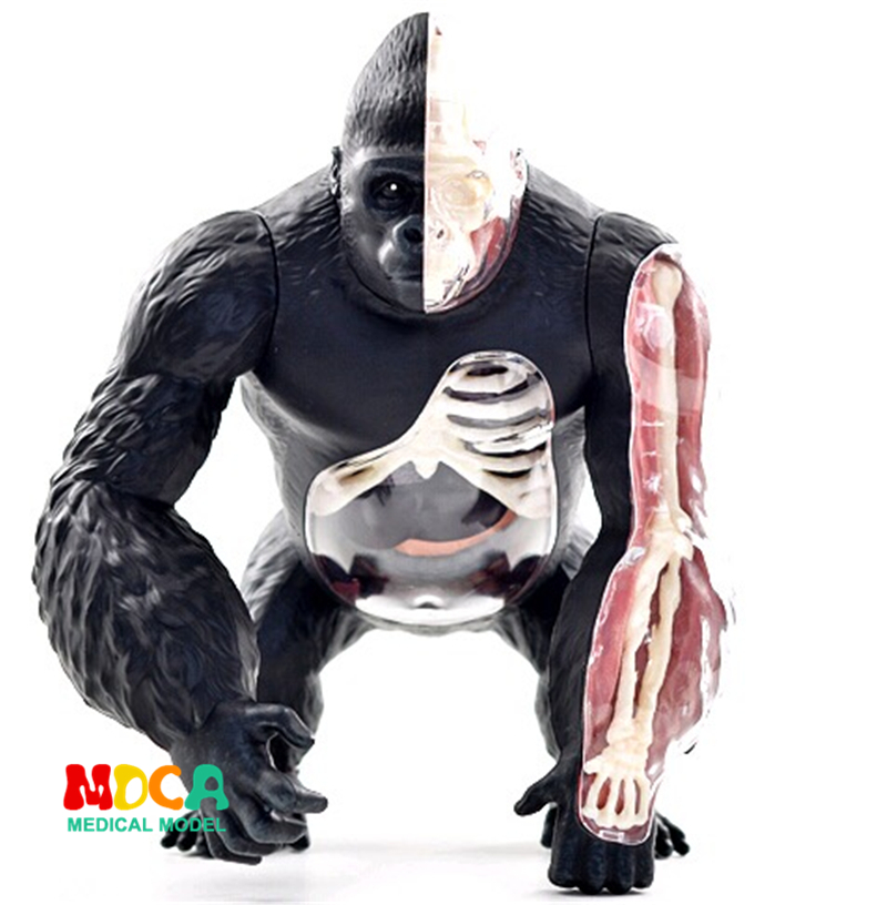 Silver back apes 4d master puzzle Assembling toy Animal Biology organ anatomical model medical teaching model 4d master cat puzzle assembling toy animal biology organ anatomical model medical teaching skull skeleton model science toys