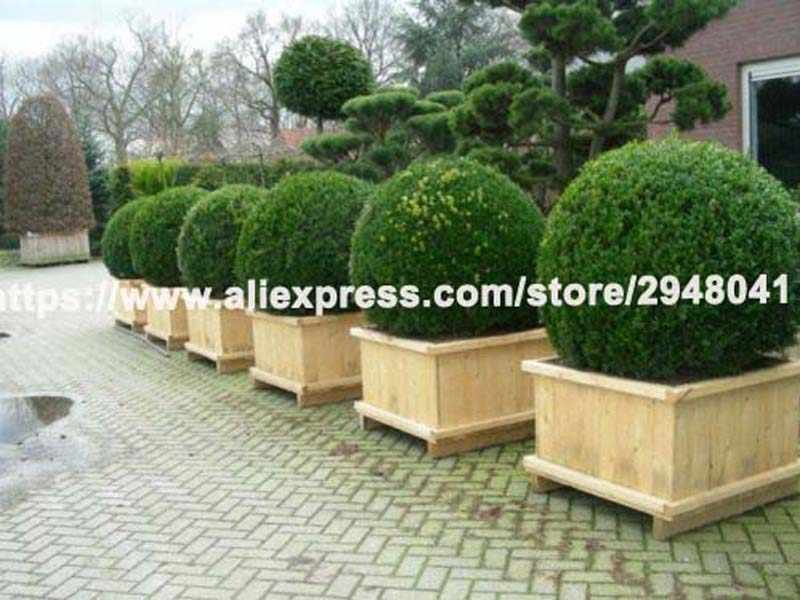 30 ชิ้น/ล็อต juniper ballsBuxus Semperv ดอกไม้กระถาง purify air ดูดซับก๊าซที่เป็นอันตราย DIY บ้านสวน, very easy to grow