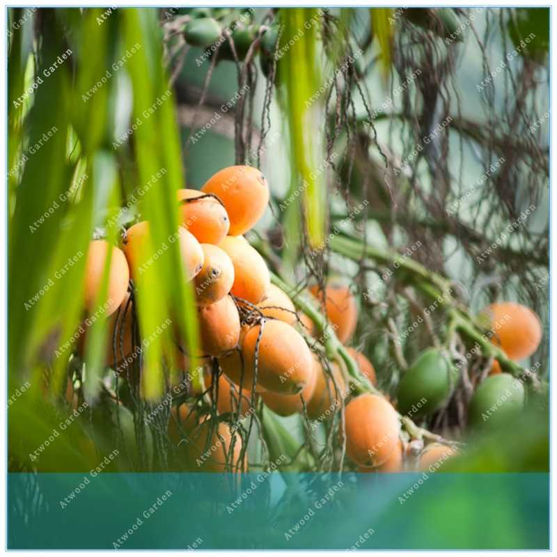 ZLKING Buy Areca Catechu Tree Semente 5pcs Plant Chinese