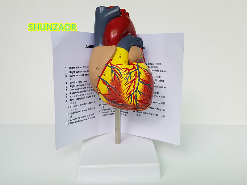 SHUNZAOR 1: 1 Human Anatomical Heart Anatomy Viscera Medicinsk Organ Modell Emulational + Stand Medical Science Teaching Resources