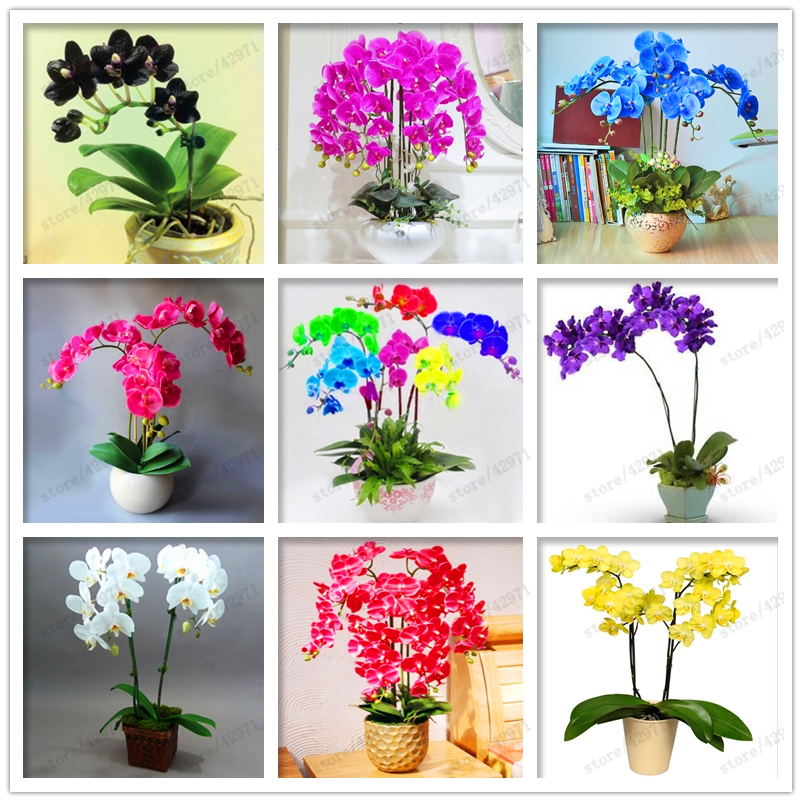 50 pcs/bag orchid seeds, phalaenopsis orchid flower seeds for home garden perennial balcony plant bonsai seeds orchid pots