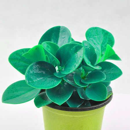 100 قطعة Peperomia Sandersii مصنع غريبة زهرة بونساي البطيخ يترك بونساي الديكور هدية المنزل والحديقة شحن مجاني